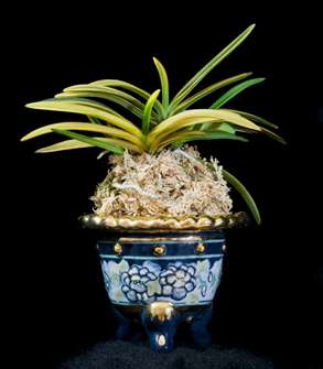 Photo of Lise Beausejour's Orchid and Pot